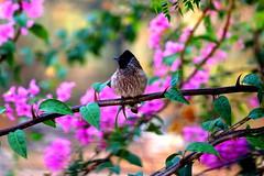 Little Guy (alex.janu) Tags: pink flowers india bird bougainvillea birdontree birdsittingontree