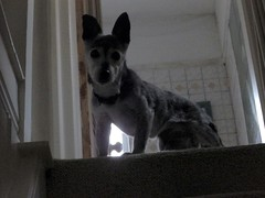 15th Dec Susie top of stairs (Cardedfolderol) Tags: dog pet animal canine whippetcross