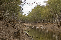 only water for miles [Jan 2014] (Fat Burns ☮) Tags: pelicans river gum landscape kangaroo drought eucalypt waterhole roo galahs gumtrees outbackwaterhole