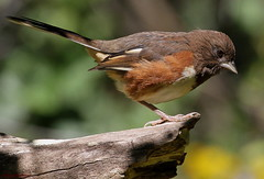 Eastern Towhee (Diane Marshman) Tags: summer brown white tree bird nature birds female back branch pennsylvania wildlife rusty size belly pa upper late medium underneath eastern throat northeast northeastern towhee sides sided rufous avianexcellence vision:outdoor=059