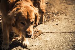 A Curious Doggy (Bartfett) Tags: california dog pet cute animal julian curious