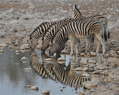 """Is That Me or You?  [Explored] (The Spirit of the World) Tags: nature reflections stripes wildlife safari drought waterhole namibia etosha zebras waterreflections southernafrica wildlifereserve rememberthatmomentlevel4 rememberthatmomentlevel1 flickrsfinestimages1 flickrsfinestimages3 rememberthatmomentlevel2 rememberthatmomentlevel3 rememberthatmomentlevel5 nationalparkofnamibia zebrasdrinkingatawaterhole"