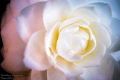 The Beauty (ShiroWengPhotography) Tags: white plant black flower colour up close near taiwan taipei    flowery
