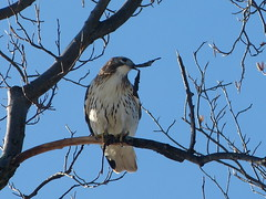 red-tailed hawk, nest building (quadceratops) Tags: winter red bird nature boston hawk massachusetts arnold arboretum raptor jamaica plain tailed buteo 14hawks8owls
