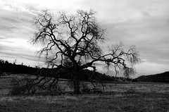 IMGP5243bw (maberto) Tags: california blackandwhite bw tree landscapes oak pentax folsom photomatix treesubject ©bradmaberto