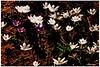 Crocuses (Polježičanin) Tags: croatia crocus zagreb hrvatska šafran parkmaksimir polježičanin mygearandme mygearandmepremium fjodorm