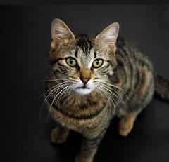 Tekir (Erman Peremeci) Tags: cat kedi microfourthirds panasonicleicasummilux25mm panasoniclumixdmcgh3