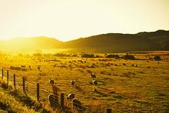Golden sheep (snowpine) Tags: newzealand nature animal golden sheep fields goldenhour morningsun goldenlight