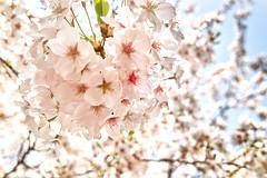 SAKURA2014 (punipuki) Tags: flower tokyo sigma 桜 cherryblossoms floralappreciation dp2s