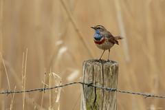 (wim claes) Tags: belgie vogels tienen plaatsen blauwborst bezinkingsputten