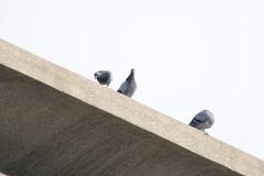 野鴿 Photo