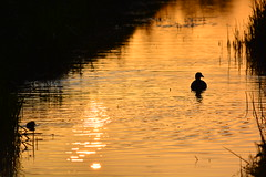 Sunset ducks (Poess91) Tags: sunset sun duck zonsondergang ducks zon eend eenden d5200