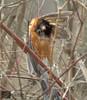 Hangman's Noose (Nick Scobel) Tags: bird robin dead michigan american strangled hung noose turdus migratorius hangmans