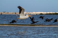 Pelicano, rio Lagartos, Mexico (Inti Runa) Tags: birds mexico ngc yucatan mexique bif faune riolagartos pelicano pélican ornithologique tokina1116mmf28 birdsinfly avestre