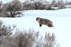American Badger (Taxidea taxus) DDZ_3351 (NDomer73) Tags: 04april2014 april 2014 tetons mammal badger americanbadger grandtetonnationalpark grandteton