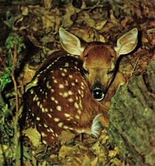 All Tucked in for the Night (patkashtock) Tags: garden woods peaceful safety fawn camouflage newborn safe visitor dappled whitetaileddeer instincts tooyoung naturalcamouflage woodbridgeva leftfawn abandonedfawn