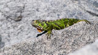 Iguana, Fort Zachary, Key West Florida