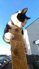Black and white cat sitting on fence (Moldovia) Tags: htconem8s phonecamera cat feline pet animal blackandwhite blackwhite fence paws catnipaddicts catalog catspotting catmoments
