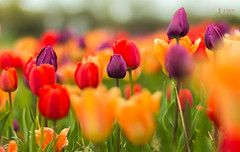IMG_2592 (davebentleyphotography) Tags: 2015 va burnsidefarms canon fields floral flowers tulipfields tulips virginia davebentleyphotography nature