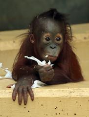 orangutan Sabbar Ouwehands BB2A2861 (j.a.kok) Tags: borneo sumatra asia azie orang orangutan orangoetan mammal zoogdier ape aap monkey mensaap primaat primate ouwehands ouwehandsdierenpark sabbar