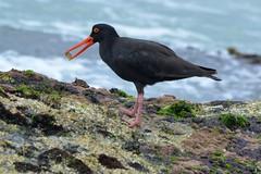 Sooty Oystercatcher_3183E (Haematosus fuliginosus) (Neil H Mansfield) Tags: bird nature sea sooty oyster catcher sootyoystercatcher portmacquarie haematopusfuliginosus