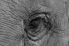 The Eye of the Elephant (heiko.moser (+ 12.100.000 views )) Tags: eye elephant elefant sw schwarzweiss auge schwarzweis monochrom mono tier tiere animal animale fauna bw blancoynegro blackwhite noiretblanc nb natur nero nature natura nahaufnahme canon closeup heikomoser