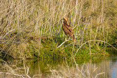 Western Marsh Harrier (malc1702) Tags: westernmarshharrier marshharrier eagle nikond7100 tamron150600 birds largebirds birdsofprey wildlife wildlifesanctuary nature animals wildlifephotography birdsinthewild birdphotography beauty outdoor