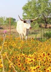 Texas Longhorn (Elizabeth Budd) Tags: ranch morning flowers field sunshine yellow rural cow spring texas cattle farm country blossoms horns wildflowers longhorn blooms elizabethbudd