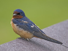 Barn Swallow 3 (moelynphotos) Tags: nature birds animals wildlife ct swallow niantic moelynphotos