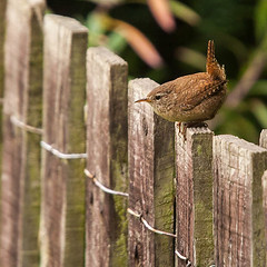 Wren (Phil Benton Photography.) Tags: bird fence garden little wren