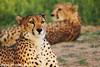 Cheetah الفهد (odaifi) Tags: حيوانات تصويري الفهد 150500 سيقما flickrandroidapp:filter=none