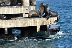 Sparring seals (Roving I) Tags: playing nature animals wildlife australia victoria queenscliff colonies chinamanshat furseals