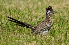 Roadrunner (Lindell Dillon) Tags: oklahoma nature birds canon roadrunner eos7d hallbrooke reddirtpics