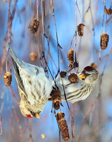 Common Redpolls (Carduelis flammea)
