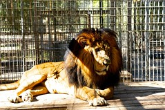 King on the Throne (theconnormayfield) Tags: sun nature zoo sad lion caged