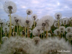 Pick me Pick me (Maxine Caulfield) Tags: fragile makeawish seeds dandelion dandelionseeds dandelions wildflowers wild flower summer upclose roots weeds fields meadow orchard white green