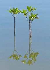 Young mangroves, Negombo Lagoon (Sekitar) Tags: plant tree nature young lagoon srilanka mangroves alam negombo
