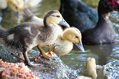 Muscovy Ducklings with Dad (BeetleBrained) Tags: park nature water duck nikon natural duckling ducks maryland ducklings baltimore fowl nikkor muscovy 200mm d5100