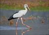 Asian Openbill Stork (Anastomus oscitans) (Gurusan2010) Tags:
