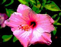 Artistic Hibiscus (robert (Bobby)powell) Tags: flowers usa nature landscape yahoo google flickr florida hibiscus fl aol bing leecounty naturephotography southwestflorida freelancephotographer bonitaspringsfl artisticphoto floridaphotographer leecountyfl flickriver leecountyflorida flickrfromyahoo robertbobbypowell imagesofbonitaspringsflorida aolimagesofflorida imagesofflorida