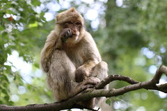Barbary Macaque Monkey having a little snack - Trentham Monkey Forest, Staffordshire (Andy_Hartley) Tags: monkey staffordshire trentham barbaryape barbarymacaque macacasylvanus trenthammonkeyforest