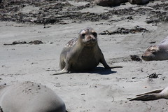Baby Elephant Seal Up (tinyfroglet) Tags: ocean beach animal mammal coast sand pacific seal elephantseal bigsur2013