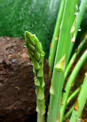 asparagus @ the organic farm (bumble babee) Tags: plants macro green art nature water closeup canon botanical dof bokeh farm vegetable dew asparagus organic raindrop s110 waterpearls