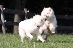 """Another Action Blur Of A Nose To Nose Starring The Princess & Chase • <a style=""""font-size:0.8em;"""" href=""""http://www.flickr.com/photos/96196263@N07/9715694548/"""" target=""""_blank"""">View on Flickr</a>"""