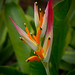 "Heliconia • <a style=""font-size:0.8em;"" href=""http://www.flickr.com/photos/101688182@N03/9833465733/"" target=""_blank"">View on Flickr</a>"