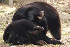not there, that tickles (ucumari photography) Tags: bear black zoo oso nc north american carolina april ursusamericanus 2013 specanimal ucumariphotography dsc1993