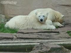 Vera, Gregor & Aleut - Felix - 14.07.2011 (ElaNuernberg) Tags: felix polarbear vera gregor eisbr aleut tiergartennrnberg nurembergzoo
