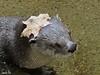 (Sarah-Vie) Tags: img funnyanimal 1422 loutre animalhumour loutreducanada