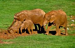 """VIDA FAMILIAR"" PARQUE NATURAL DE CABARCENO CANTABRIA 8056B (Jose Javier Martin Espartosa) Tags: espaa spain cantabria elefantes parquenaturaldecabarceno blinkagain vision:mountain=0534 vision:outdoor=0953"
