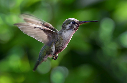 Costas Hummingbird in Flight, Wings of the Tropics, Fairchild Tropical Botanic Garden.